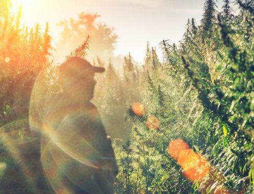 Sálarios e benefícios melhoram no setor de cannabis