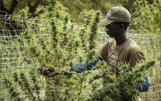 mercado de Cannabis: por que é bom negócio