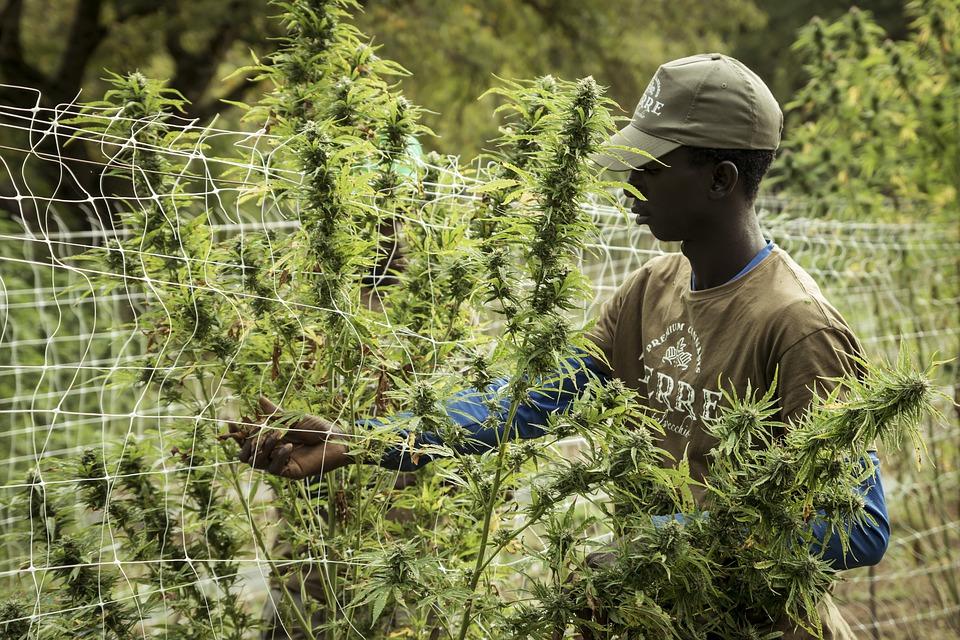 O mercado de Cannabis: por que é bom negócio