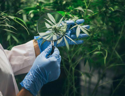 Novo relatório sobre Cannabis