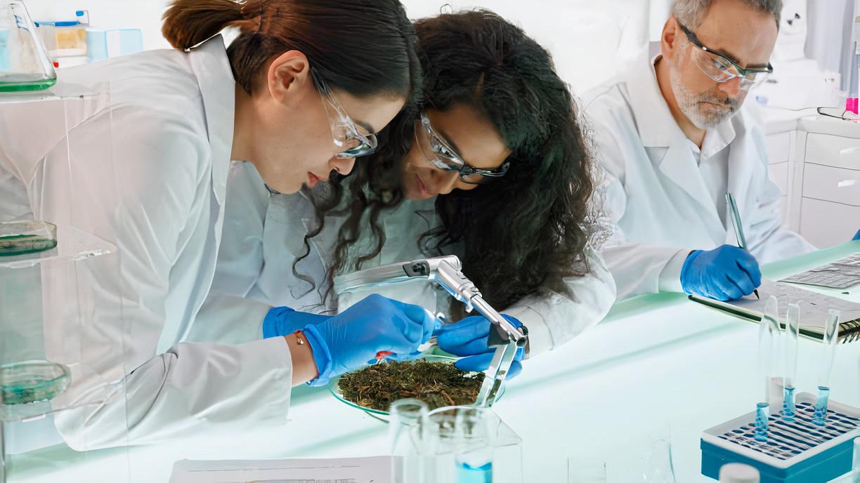 pesquisa científica com a Cannabis sativa