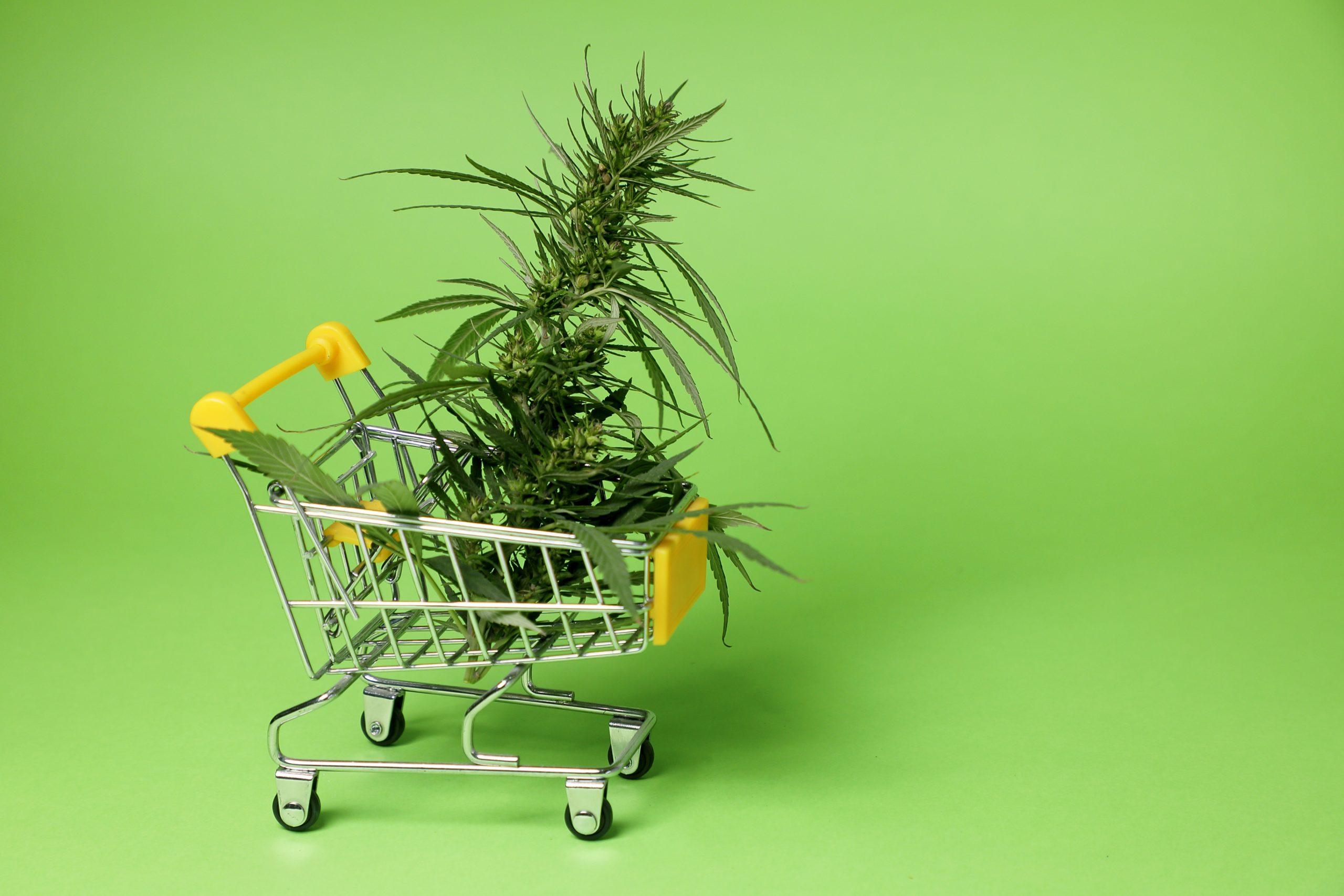 Mercado da cannabis no Brasil: terreno fértil para boas ideias
